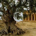 olive_syria02