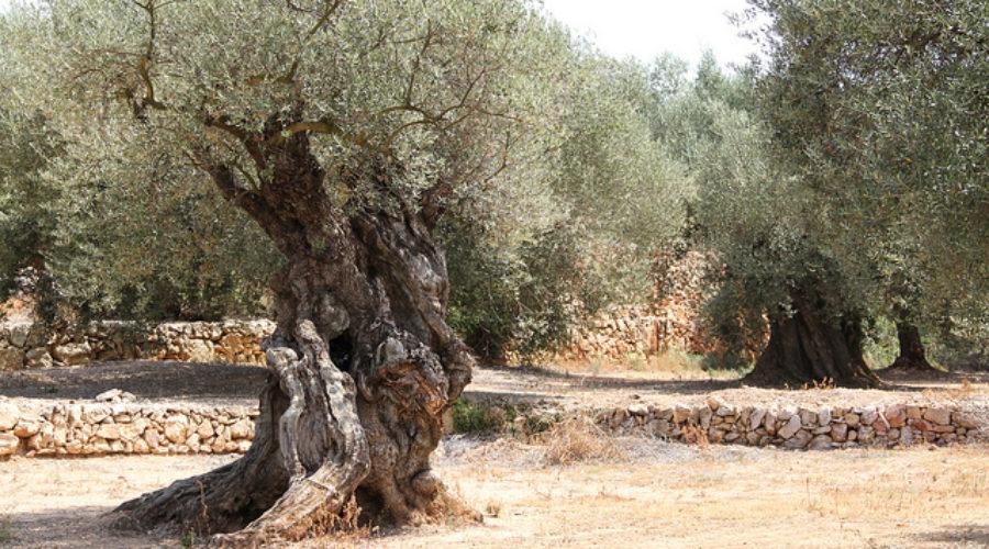 Olive Odyssey Q&A